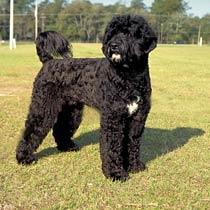 baraks-portuguese-water-dog